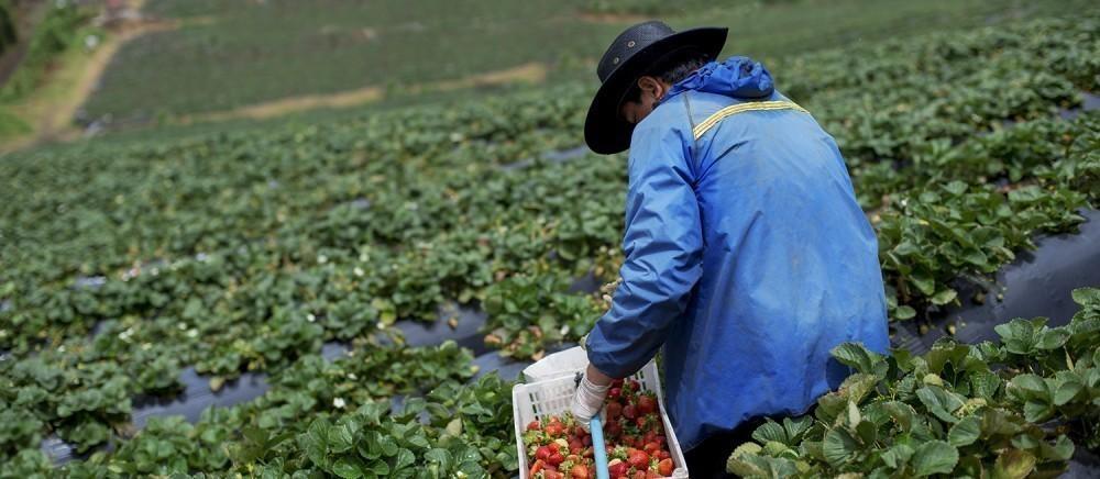Alrededor del 5,6% de las fresas incluidas en la muestra en 2015 y 2016 tenían niveles de residuos de plaguicidas considerados ilegales
