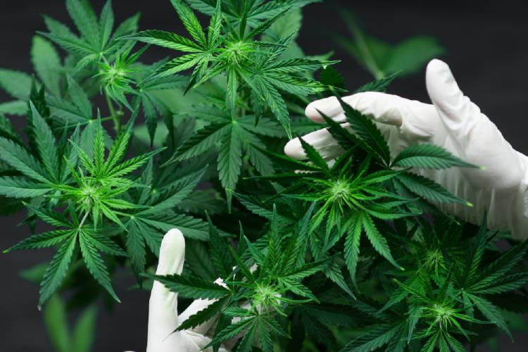 manos guantes cannabis