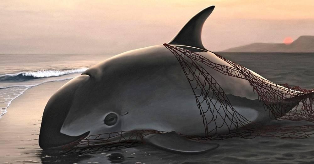 La cuenta regresiva de la vaquita marina: matan una por error y solo quedan 30