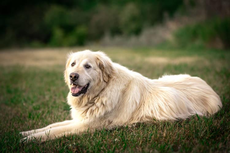 perro perros labrador retriever