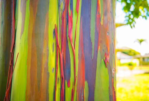 Conoce el Eucalipto Arco Iris, uno de los árboles más bellos del mundo
