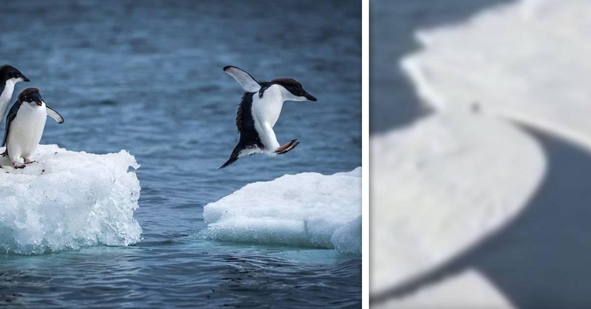 Así es como este pingüino se salvó de un bloque de hielo que se desprendió inesperadamente del suelo
