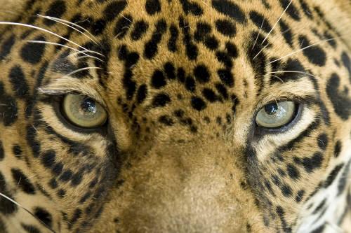 Denuncian la explotación de jaguares en Cancún