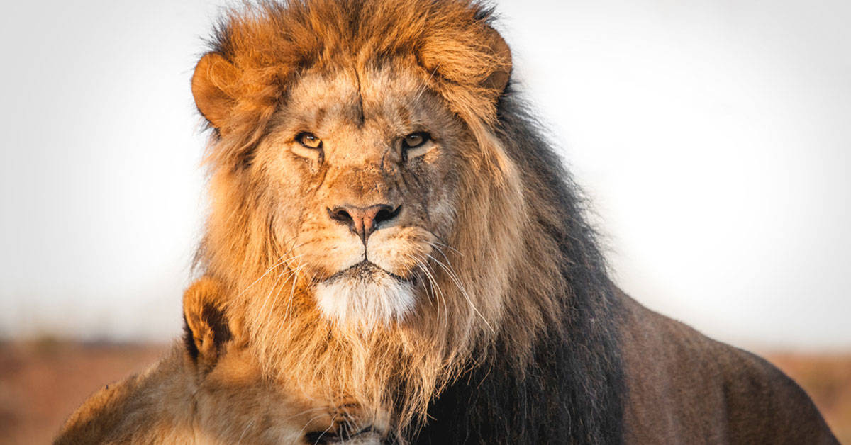 Un león recibe tratamiento contra el cáncer en Sudáfrica