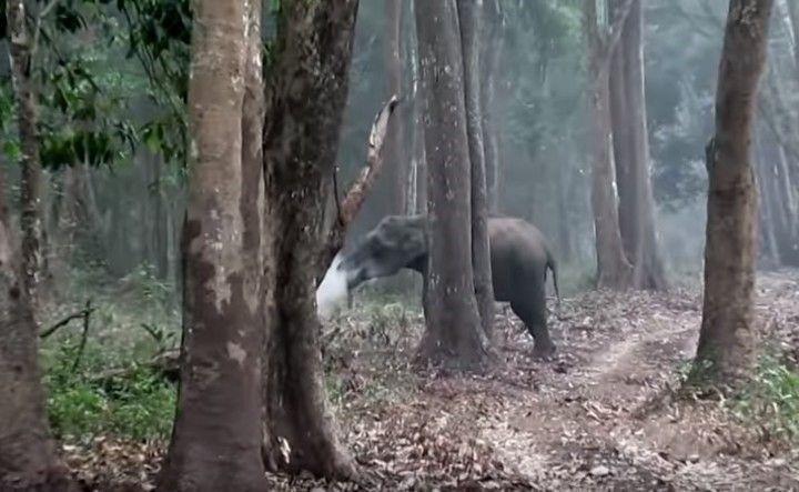 Es la primera vez que se documenta con imágenes tal comportamiento en una elefante salvaje
