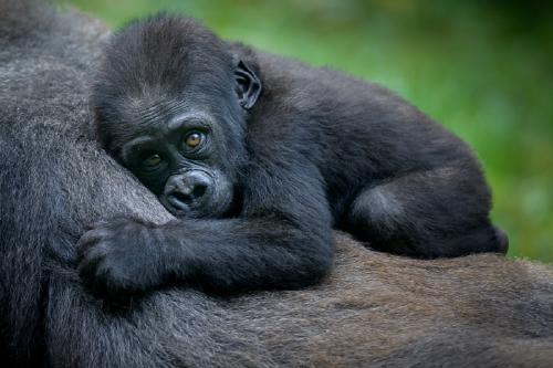 foto viral gorilas