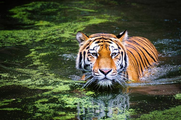 China autoriza el uso de productos provenientes de tigre y rinoceronte