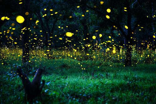 Las luciérnagas están en peligro de extinción por la acción humana