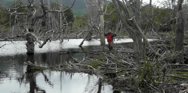 Bosque patagonico inundado por los castores