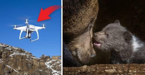 Polémica: ¿fue un dron el culpable de que el osezno asustado cayera en la nieve?