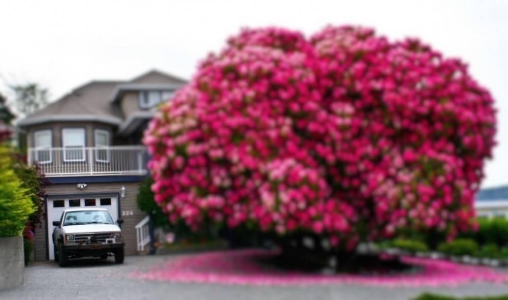 Este arbusto gigante floreció en Canadá y volvió viral a su pueblo