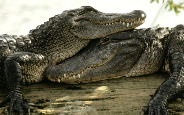 crocodiles_amazing_love_wallpaper