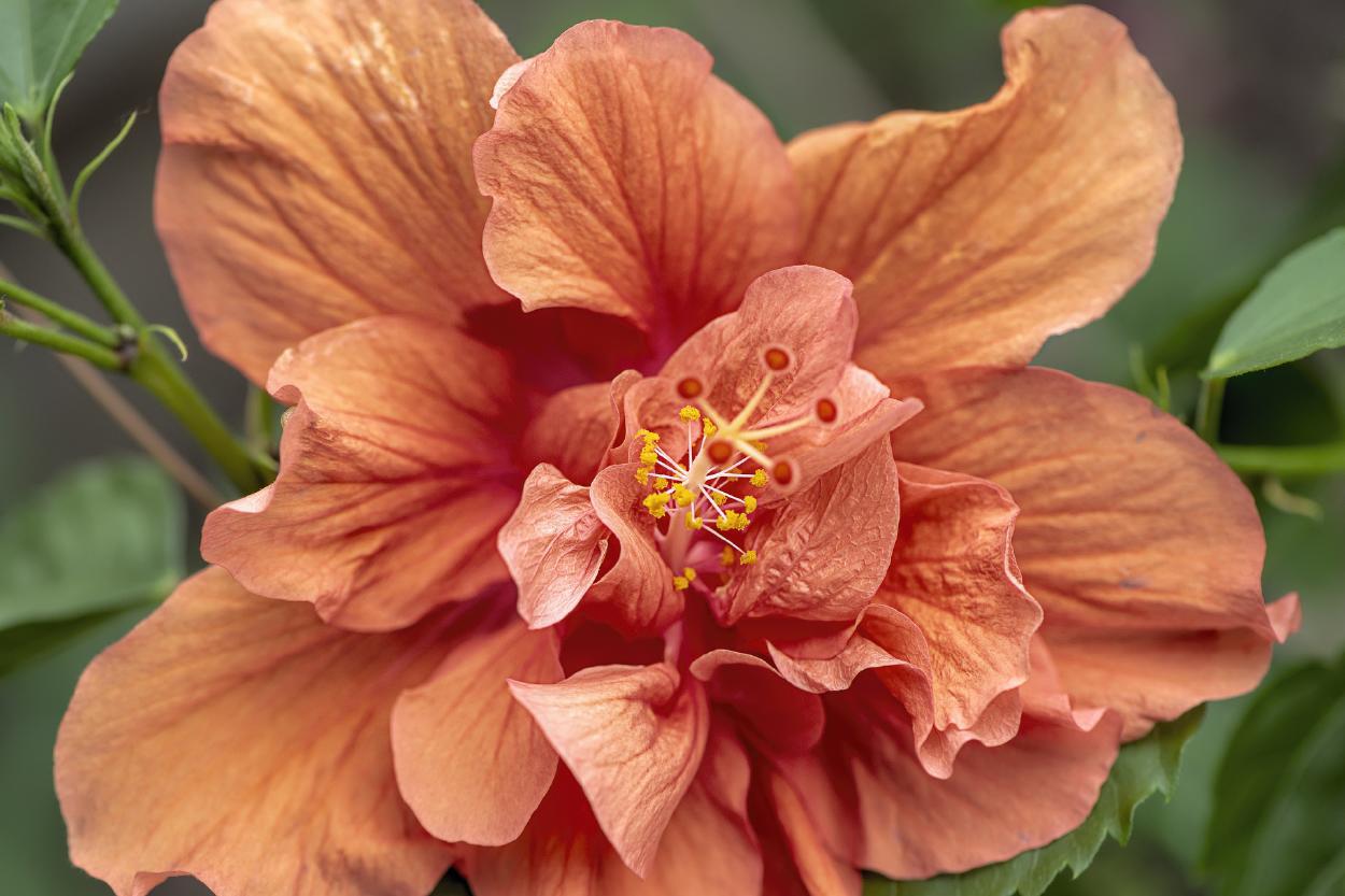 Rosa de sarón: significado de la mítica flor y cuidados