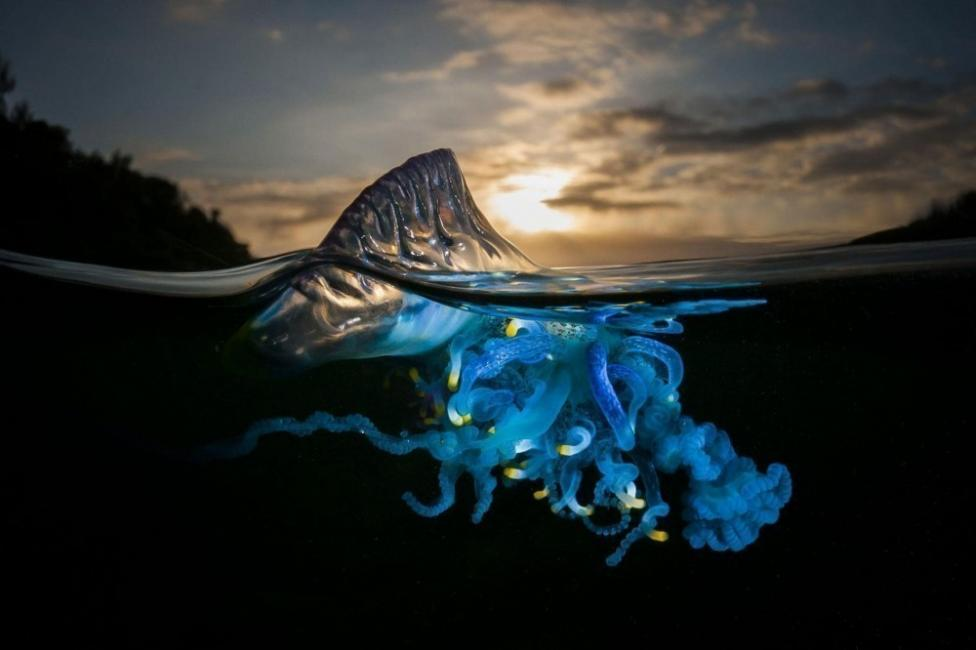 La carabela portuguesa se suele encontrar en mar abierto en todas las aguas cálidas del planeta