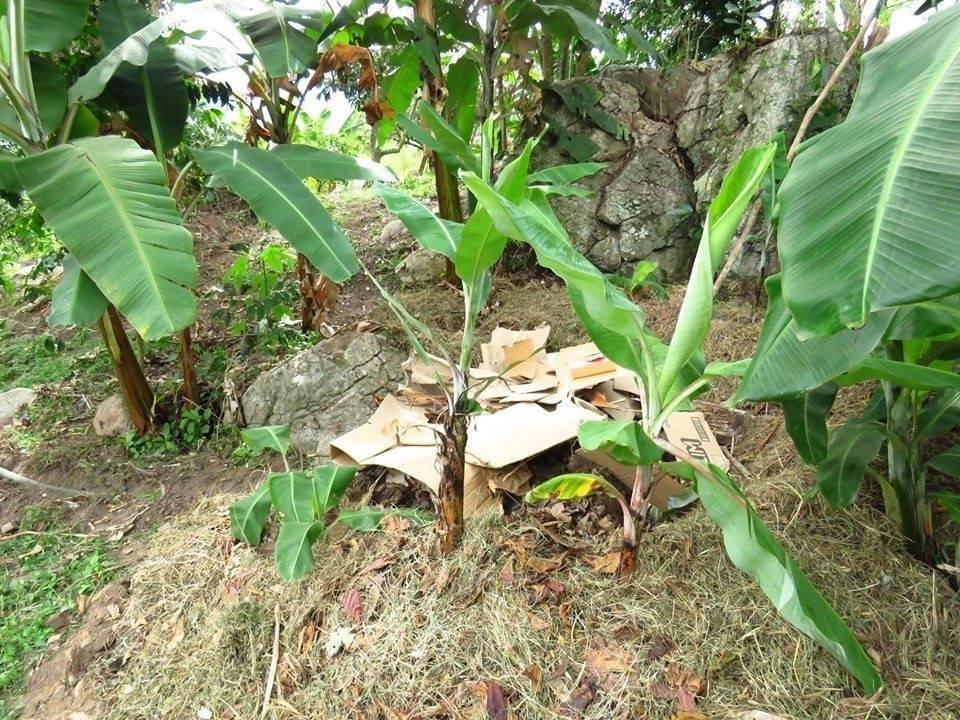 Cómo usar bananos para reutilizar las aguas grises