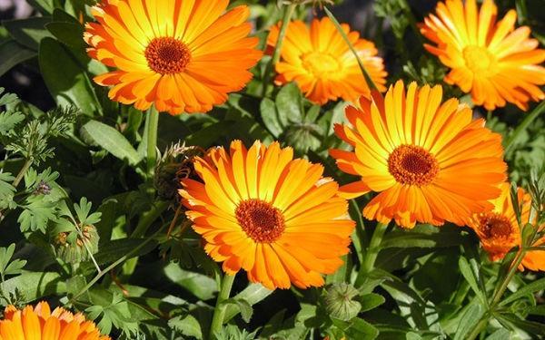 Caléndula: una flor esencial para mejorar la salud