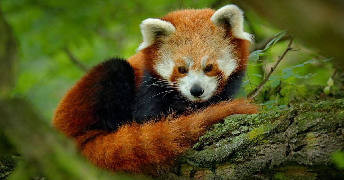 Panda rojo: un pequeño animal en peligro por la deforestación