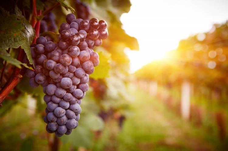 Racimo de uvas en un viñedo