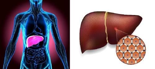 8 datos sobre el hígado que debes conocer para que no te falle la salud