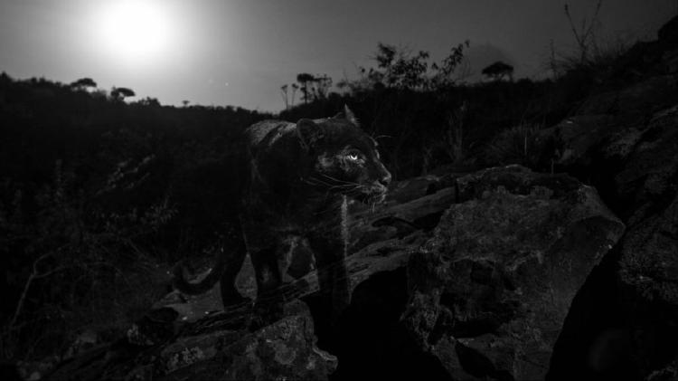 leopardo negro 2
