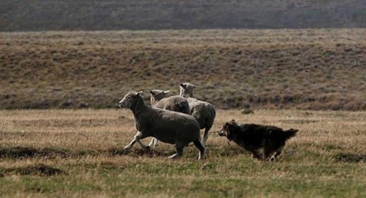 Perros asilvestrados acosando a ovejas en Tierra del Fuego