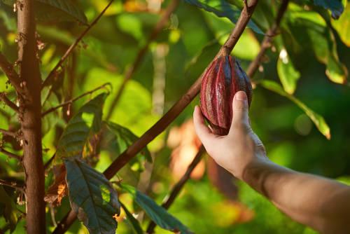 Cacao, no oro: una alternativa a la minería ilegal