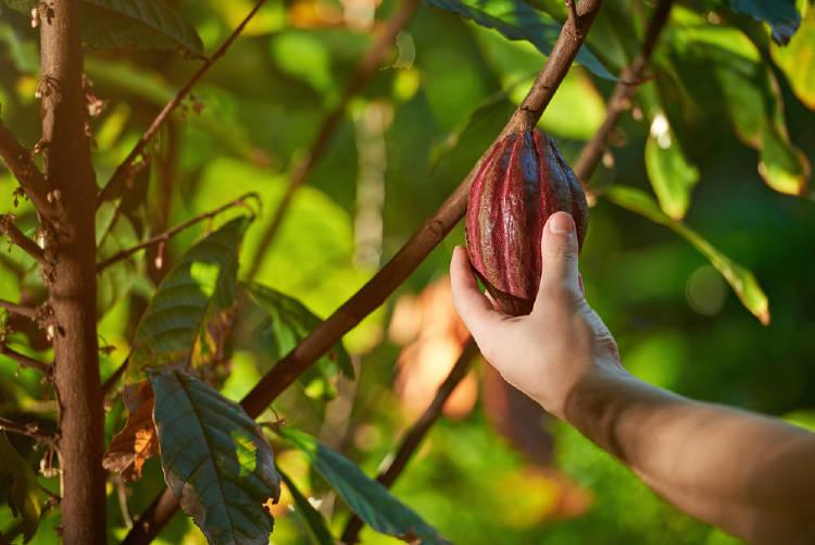 fruto de oro arbol de cacao