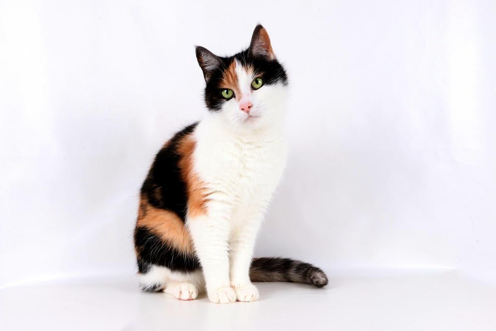 ¿Qué tienen en especial los gatos tricolores? Descubre su leyenda
