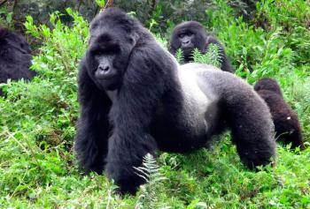 Gorila de Montaña macho