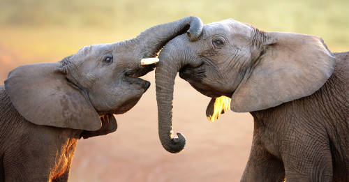 Dinamarca liberará a los últimos 4 elefantes de circo y planea hacer lo mismo co