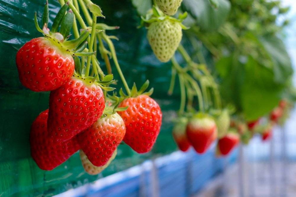 El escándalo de las agujas escondidas en fresas en Australia: ¿pueden llegar a otros países?
