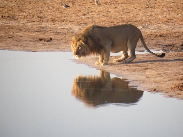 leones comercializados en África