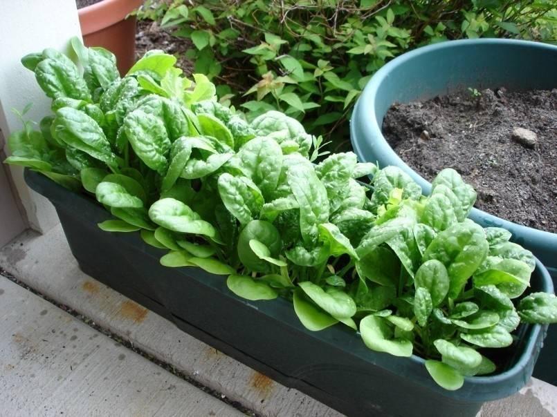Cómo cultivar espinacas en macetas