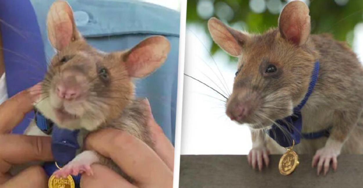 Jubilan a rata gigante condecorada por detectar decenas de minas antipersonales en Camboya