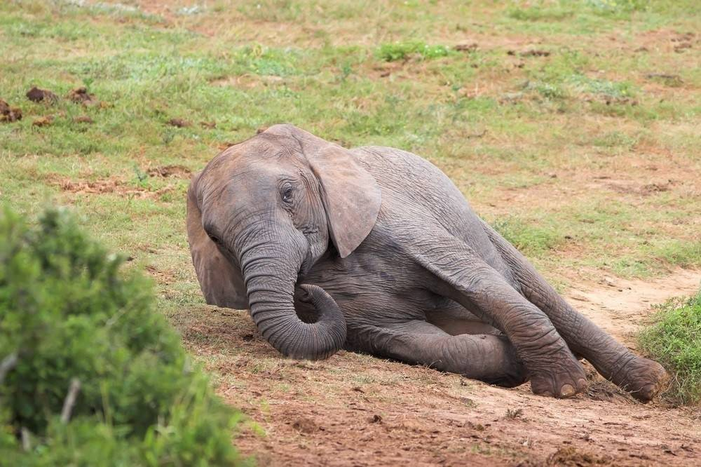Un cazador murió aplastado por un elefante luego de matar a sus crías