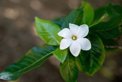 Flores perfumadas que puedes tener en casa sin muchos cuidados