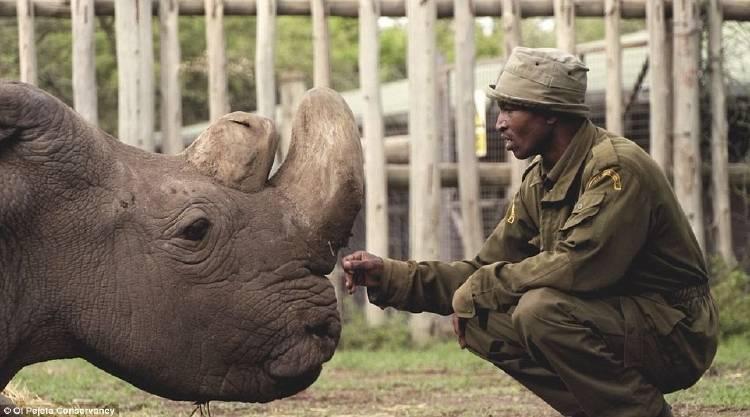 Murió Sudán, el último macho de rinoceronte blanco del norte en todo el mundo