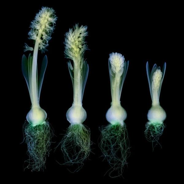 hyacinth_1689418i