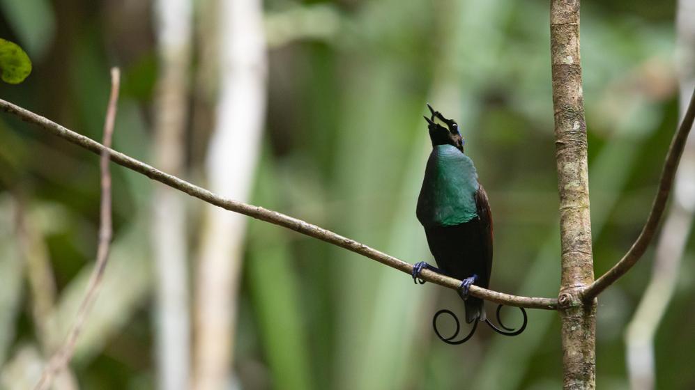 El ave de Wilson: una especie tan bella como singular