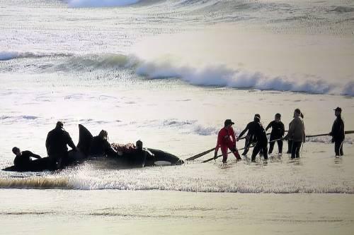 Así fue el conmovedor rescate de las orcas varadas que aparecieron en Argentina
