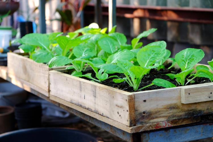 Maceta de madera con espinacas verdes y frescas