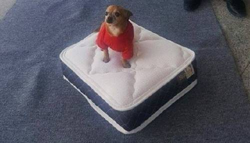 ¡Una tienda de colchones te da un mini colchón para tu perro al comprar uno ..
