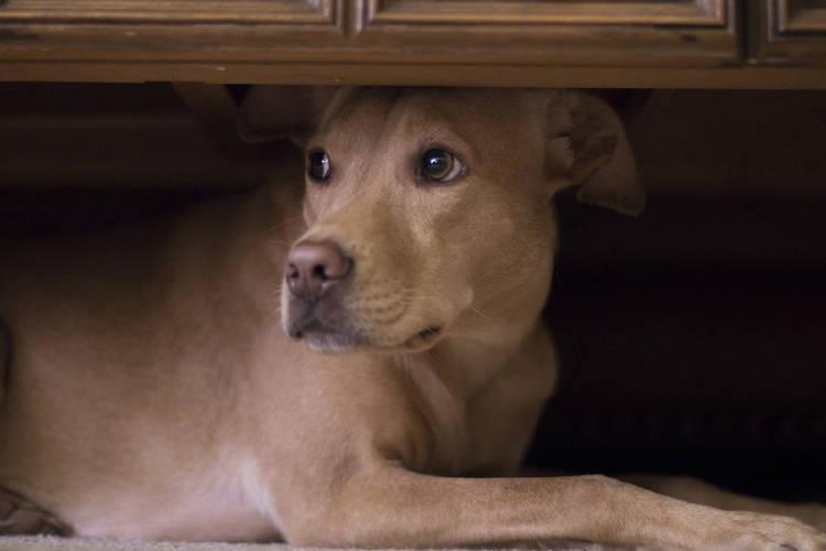 perro asustado debajo de un mueble