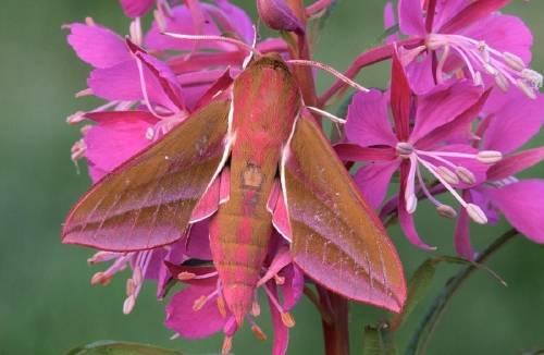 Polillas que cautivan, ¡algunas son más hermosas que las mariposas!