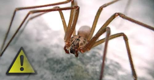 Invasión de arañas violinistas: ¿cómo podemos ahuyentarlas?