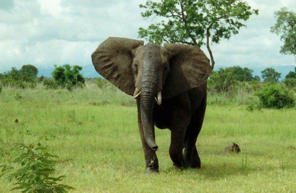 En el futuro próximo, la totalidad de los elefantes nacerán sin colmillos