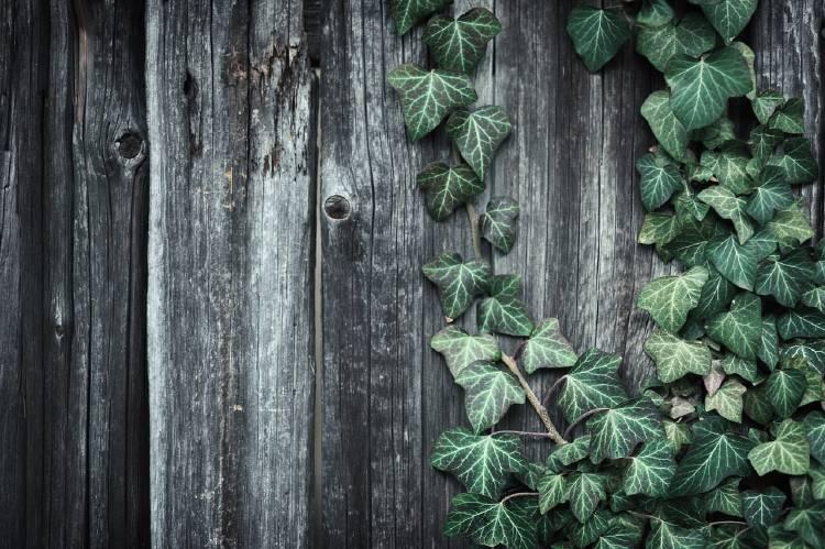 Hiedra trepando sobre fondo de madera