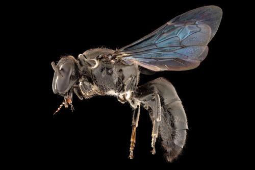 Hallan en Australia una especie de abeja que se creía extinta