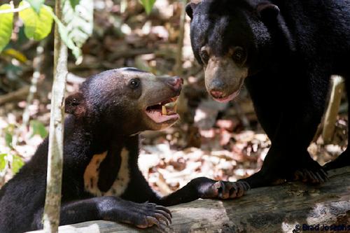Indignación mundial por el video de unos osos esqueléticos suplicando por co..