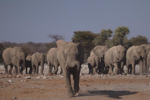 Cazador furtivo pierde la vida luego de ser arrollado por una manada de elefantes
